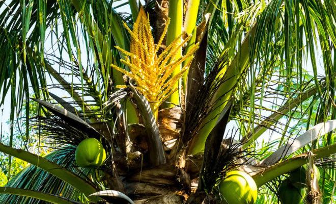 Sucre De Coco Pour Diabetiques Recettes Dietetiques